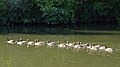 Canada Geese (Branta canadensis) - Kitchener, Ontario 2019-07-28.jpg