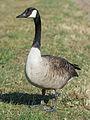 Canada Goose near Oestrich, Germany 20150311 2.jpg