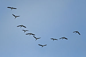 Canada Geese flying in a V-shaped formation.