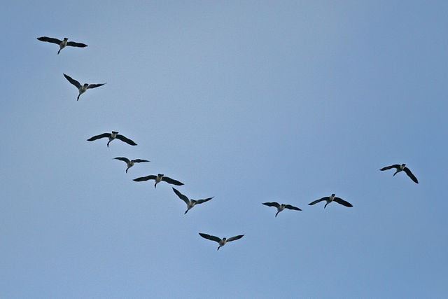 Photo of a flock of Canada geese flying in V-formation. Wing beats do not appear to be synchronised.