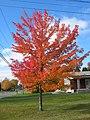 Canadian maple.jpg