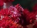 Candy crab (Hoplophrys oatesi) (15625496563).jpg