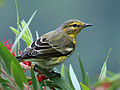 Cape May Warbler RWD1.jpg