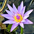 Cape blue waterlily (Nymphaea capensis var. zanzibariensis) (8103217895).jpg