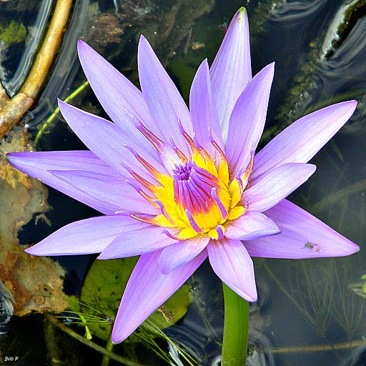 Cape blue waterlily (Nymphaea capensis var. zanzibariensis) (8103217895)