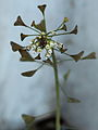 Capsella bursa-pastoris 019.JPG