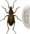 Carabus arvensis with elytron Jacobson.png
