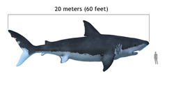 Carcharodon megalodon size compasison with man.png
