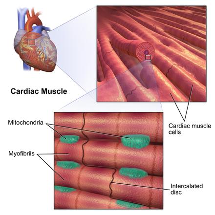 Cardiac muscle - Wikiwand