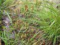 Carex maximowiczii gouso.jpg