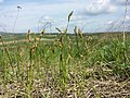 Carex praecox sl8.jpg