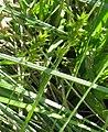 Carex spicata inflorescens (19).jpg