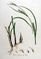 Carex vesicaria — Flora Batava — Volume v9.jpg