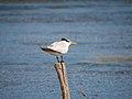 Caribbean birds (6980017908).jpg