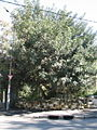 Carob tree.jpg