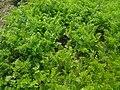 Carrot leaves.jpg