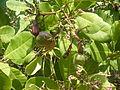 Cashew nut tree Anacardium occidentale with unripe cashew apples and nuts at Goa DSCF0333 (10).JPG