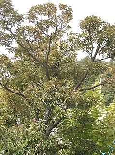 <i>Castanopsis</i> genus of plants