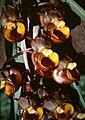 Catasetum longifolium - flower 1.jpg
