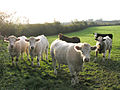 Cattle (and a horse) at sunset - geograph.org.uk - 272208.jpg