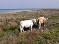 Cattle near Doobeg Point - geograph.org.uk - 1854889.jpg