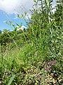 Caucalis platycarpos subsp. platycarpos sl29.jpg