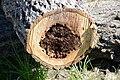 Cavités dans des bûches de peuplier blanc (17).JPG