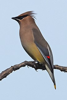 Cedar waxwing species of bird
