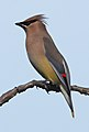 Cedar Waxwing - Bombycilla cedrorum, George Washington's Birthplace National Monument, Colonial Beach, Virginia (39997434862).jpg
