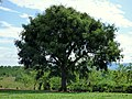 Ceiba (Ceiba pentandra) - Flickr - Alejandro Bayer (2).jpg