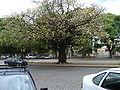 Ceiba speciosa 2.jpg
