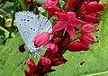 Celastrina argiolus Zweeloo.jpg