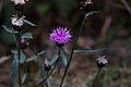 Centaurée des bois-Centaurea nigra-Tourbière de Gimel-20141011.jpg