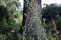 Centaurea calocephala001.jpg