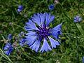 Centaurea cyanus CH 1.jpg