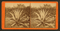 Century plant, from Robert N. Dennis collection of stereoscopic views 4.png