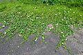 Cephalandra indica - Indian Botanic Garden - Howrah 2012-09-20 0166.JPG
