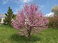 Cercis siliquastrum (Poltava Botanical garden).jpg