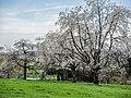 Cerisiers. Région de Fougerolles. (2).jpg