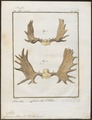 Cervus alces - gewei - 1700-1880 - Print - Iconographia Zoologica - Special Collections University of Amsterdam - UBA01 IZ21500118.tif