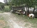Chèvre (Capra aegagrus hircus), bélier (Rams), cheval (Bay tobiano) et poney.jpg