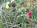 Chaenomeles japonica - Kew 3.jpg