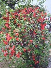 Chaenomeles lagenaria in Incheon Korea 2.JPG