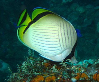 Vagabond butterflyfish species of fish