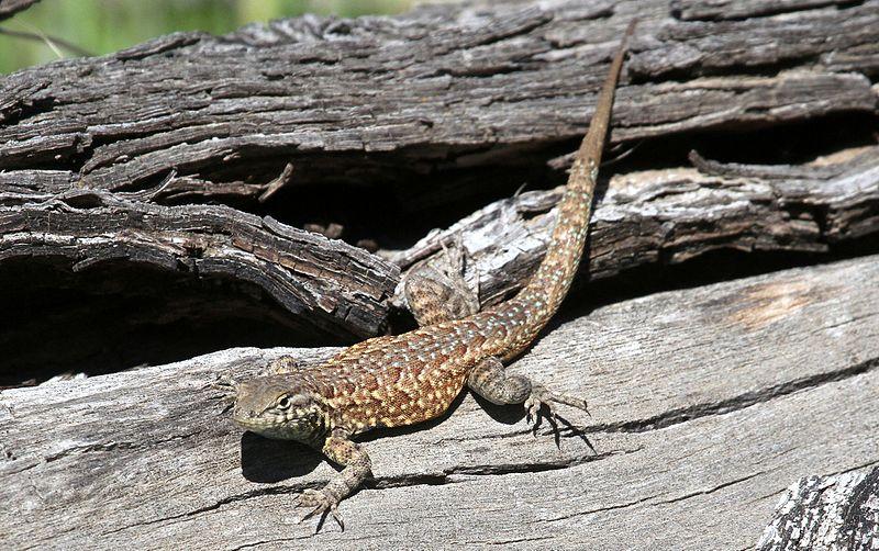 File:Channel Islands Side-blotched Lizard - Flickr - GregTheBusker (1).jpg