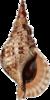 Charonia tritonis.png