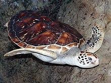 .::Tortuga Verde::. 220px-Cheloniidae2005