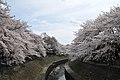 Cherry blossom near Zenpukuji river, Tokyo; March 2008 (13).jpg