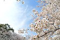 Cherry blossom near Zenpukuji river, Tokyo; March 2008 (23).jpg