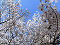 Cherry blossoms - Sakura - 03 - 桜.jpg